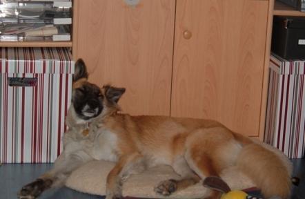 Foxi mixed breed dog